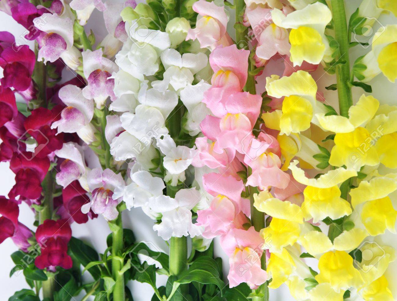 Variegated antirrhinum snapdragon flower background yellowwhite variegated antirrhinum snapdragon flower background yellowwhiterosy and crimson stock mightylinksfo