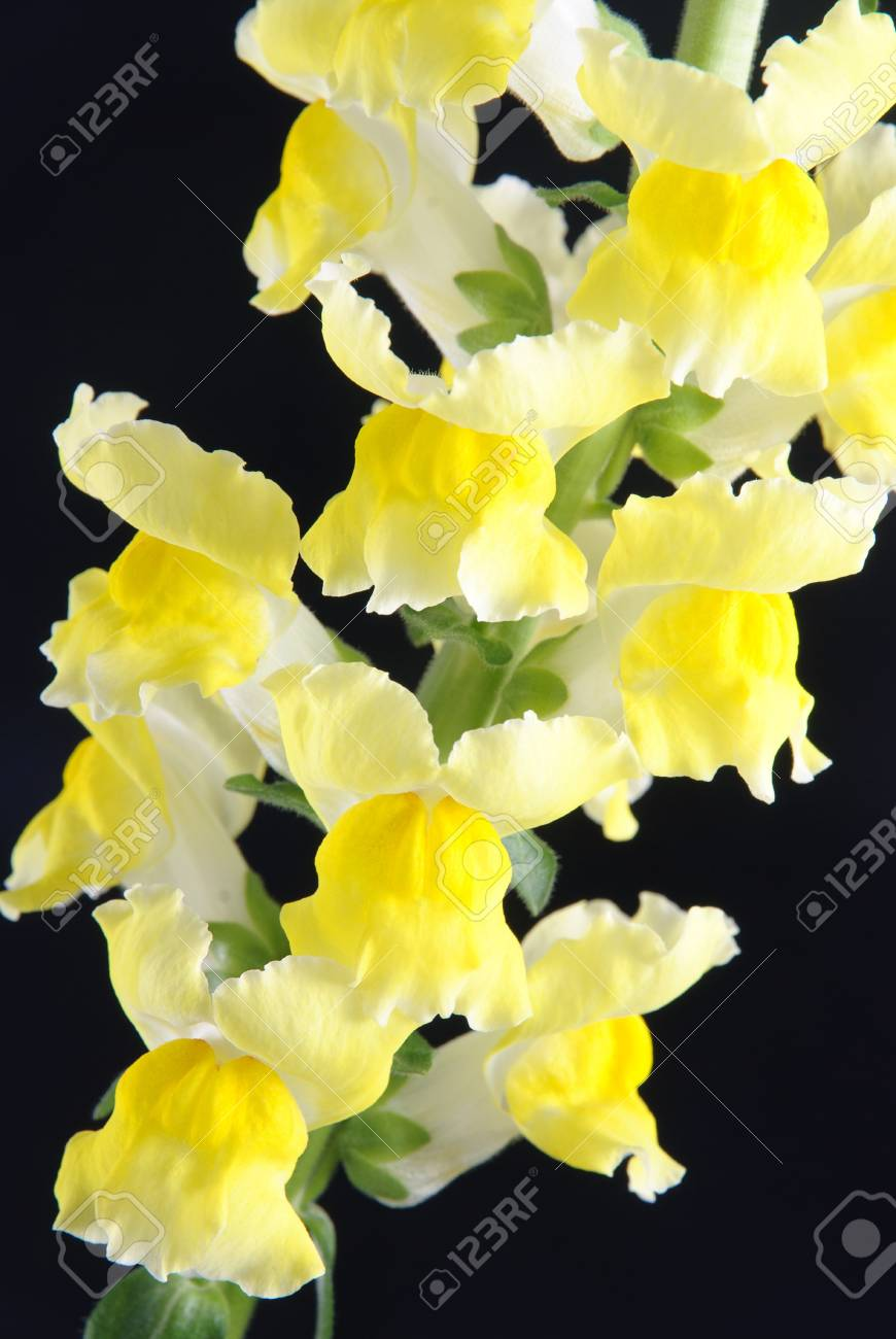 yellow antirrhinum (snapdragon) flower isolated on black background Stock Photo - 18259559