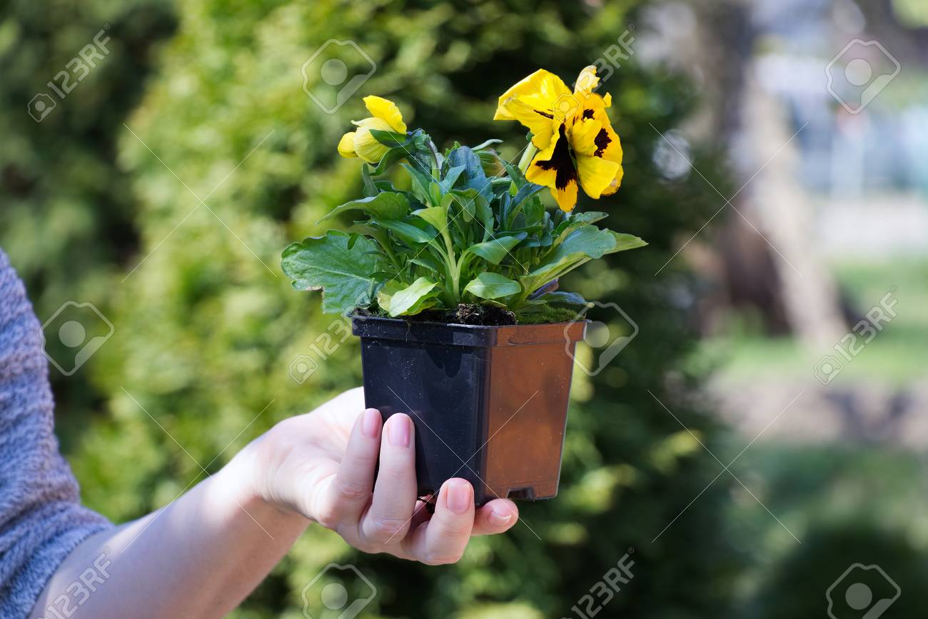 Woman Holding A Small Flower In A Pot Yellow Pansy Flower Stock