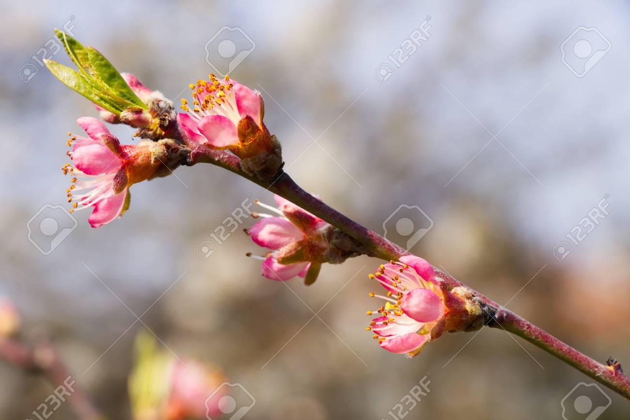 Branche De Peche Fleurissant Au Printemps Detail De Pecher Fleur