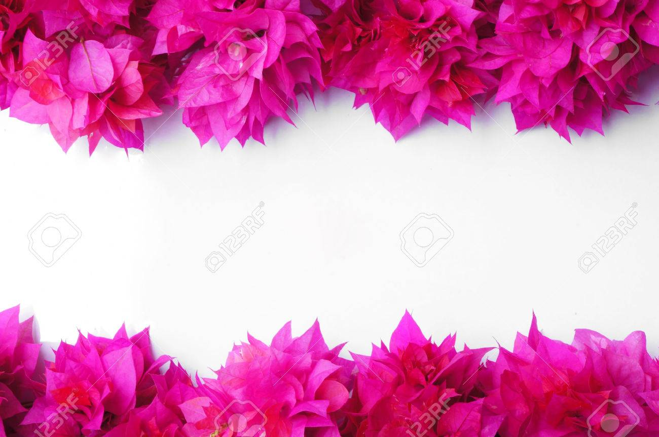 Bougainvillea Flowers On White Background Stock Photo Picture And