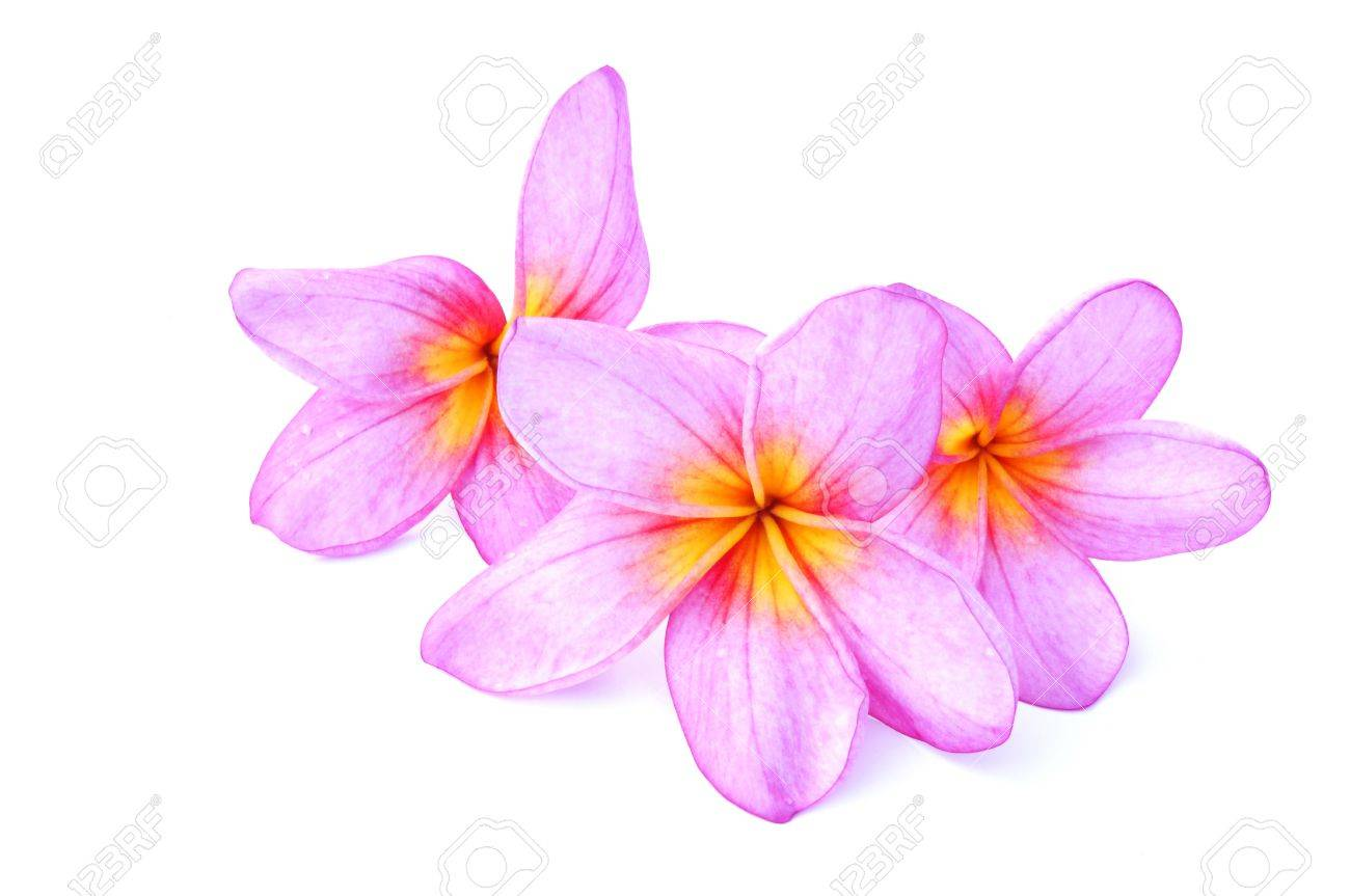Pink Plumeria isolated on a white background Stock Photo - 8260877