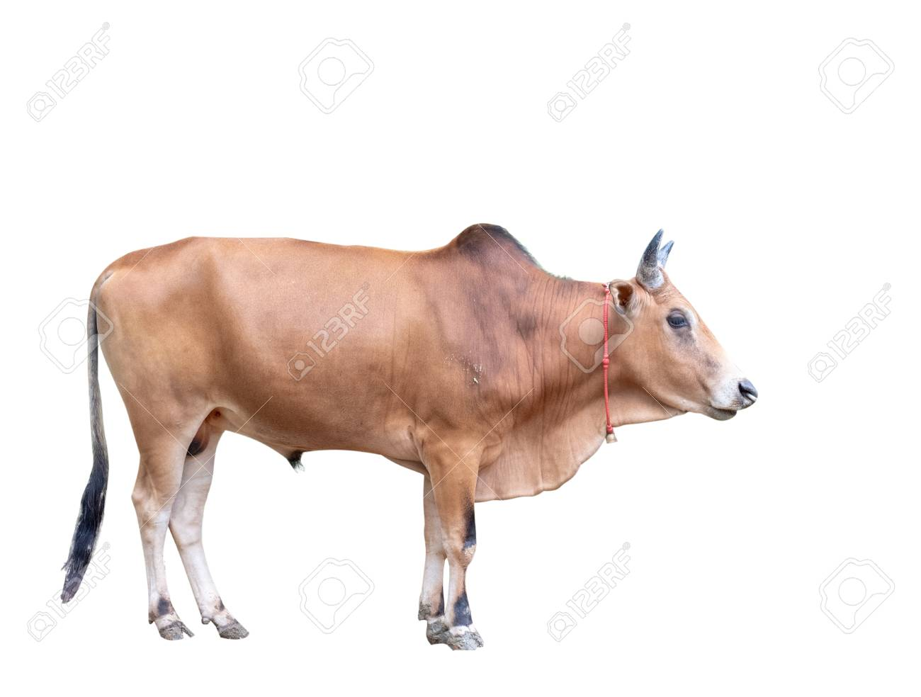 Ox Animal, Male Cow Stock Photo, Picture And Royalty Free Image ...