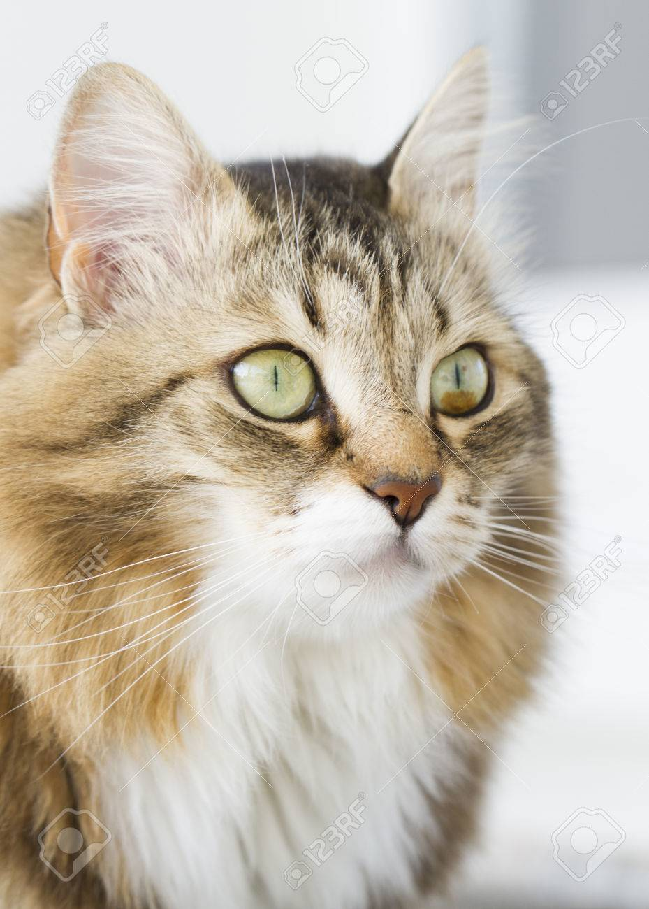 Beautiful Brown White Cat Breed Siberian Stock Picture