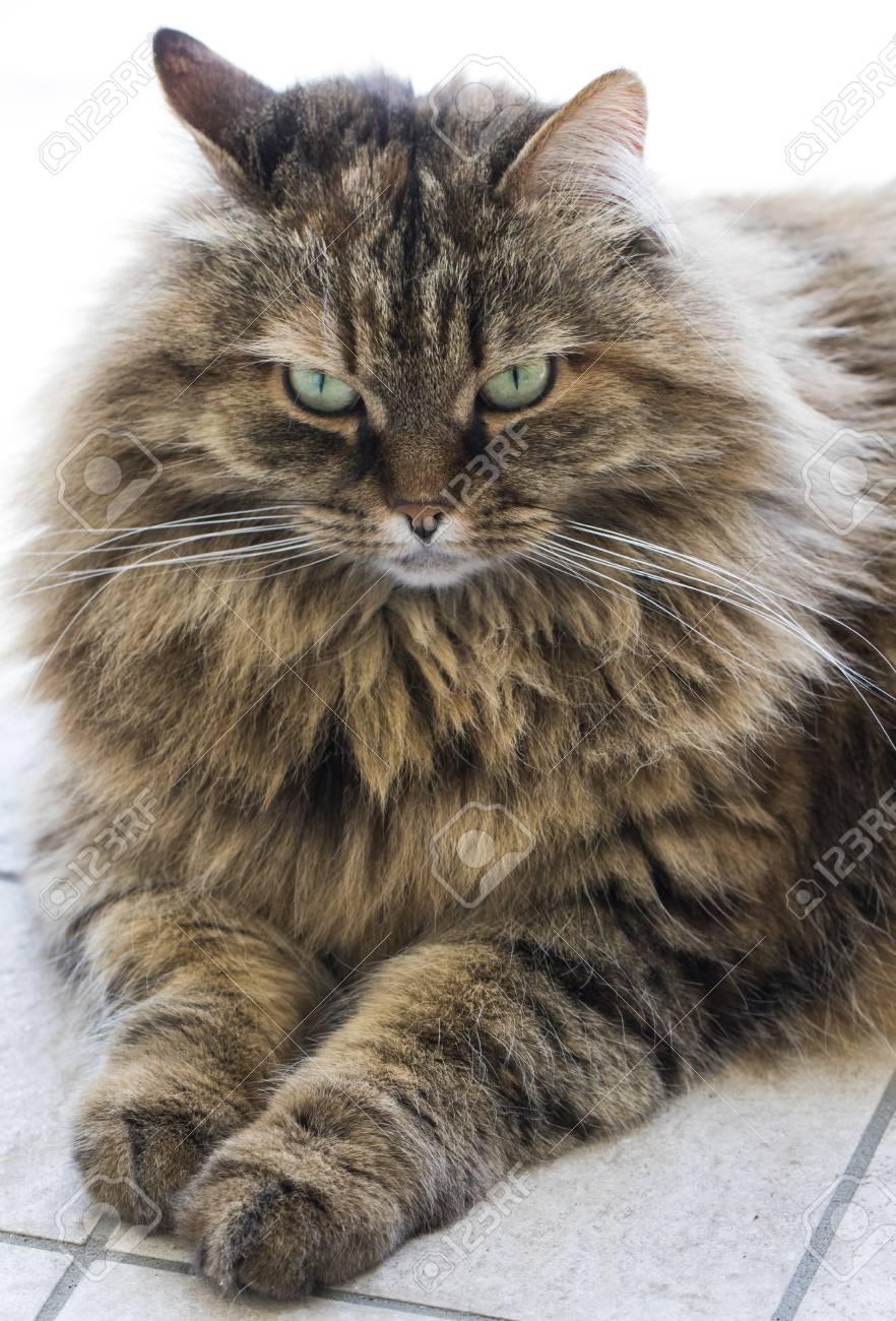 Fotos de animales de todo tipo incluyendo mascotas que más te gustan - Página 13 87741934-brown-cat-mackerel-with-long-hair-siberian