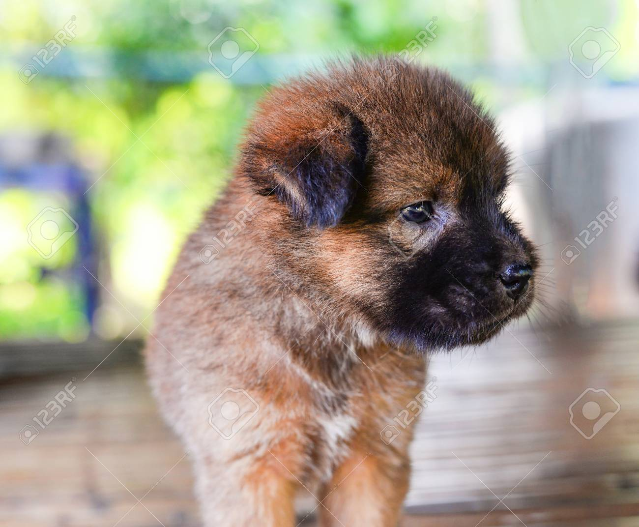 Puppy Cute Dog Baby Brown Puppy Dog Asia Thai Stock Photo Picture And Royalty Free Image Image 114134825