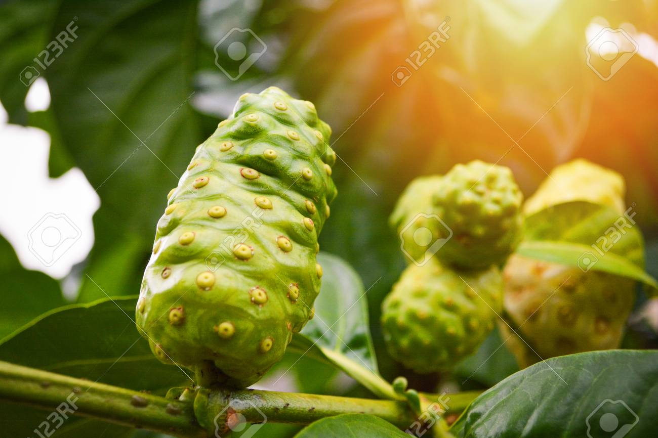 Noni fruit herbal medicines / fresh noni on tree Other names Great morinda, Beach mulberry - 116855184