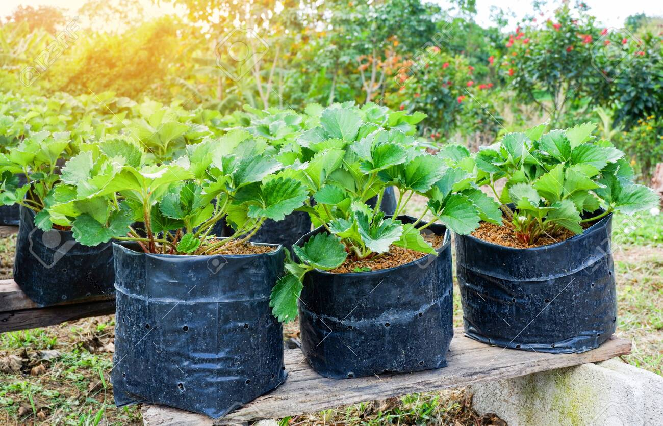 Planting strawberry in pot in the garden farm agriculture - 121248012