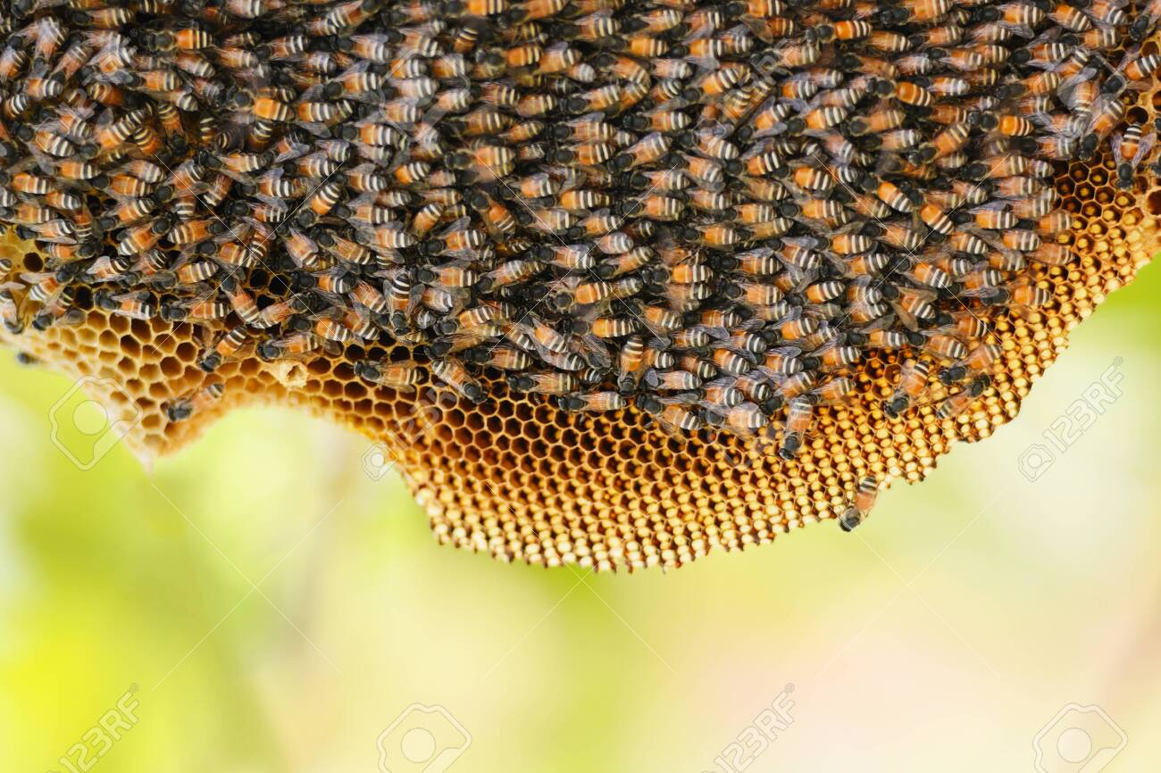Honeycomb On Tree Nature And Swarm Honey Bee On Comb Beehive Stock Photo,  Picture And Royalty Free Image. Image 124848379.