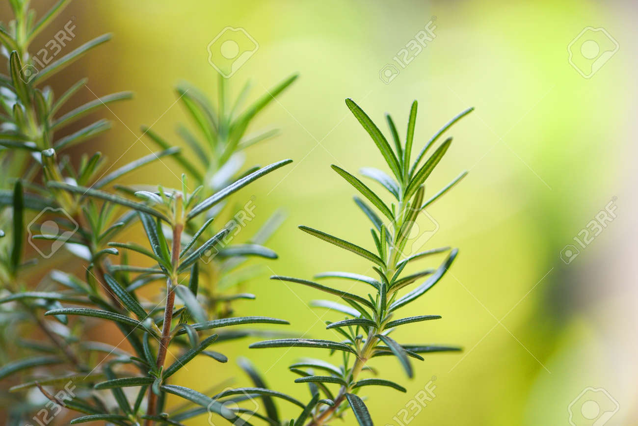 Organic rosemary plant growing in the garden for extracts essential oil / Fresh rosemary herbs nature green background , selective focus - 137859711