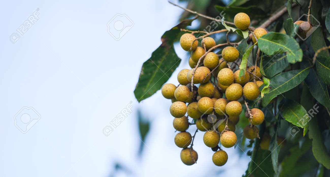 Longan orchards garden fruit on the longan tree, Tropical fruits in summer thailand - 173248542