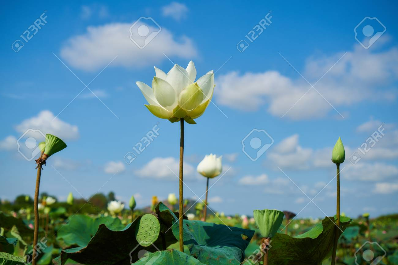 Lotus Flower Stock Photo Picture And Royalty Free Image Image