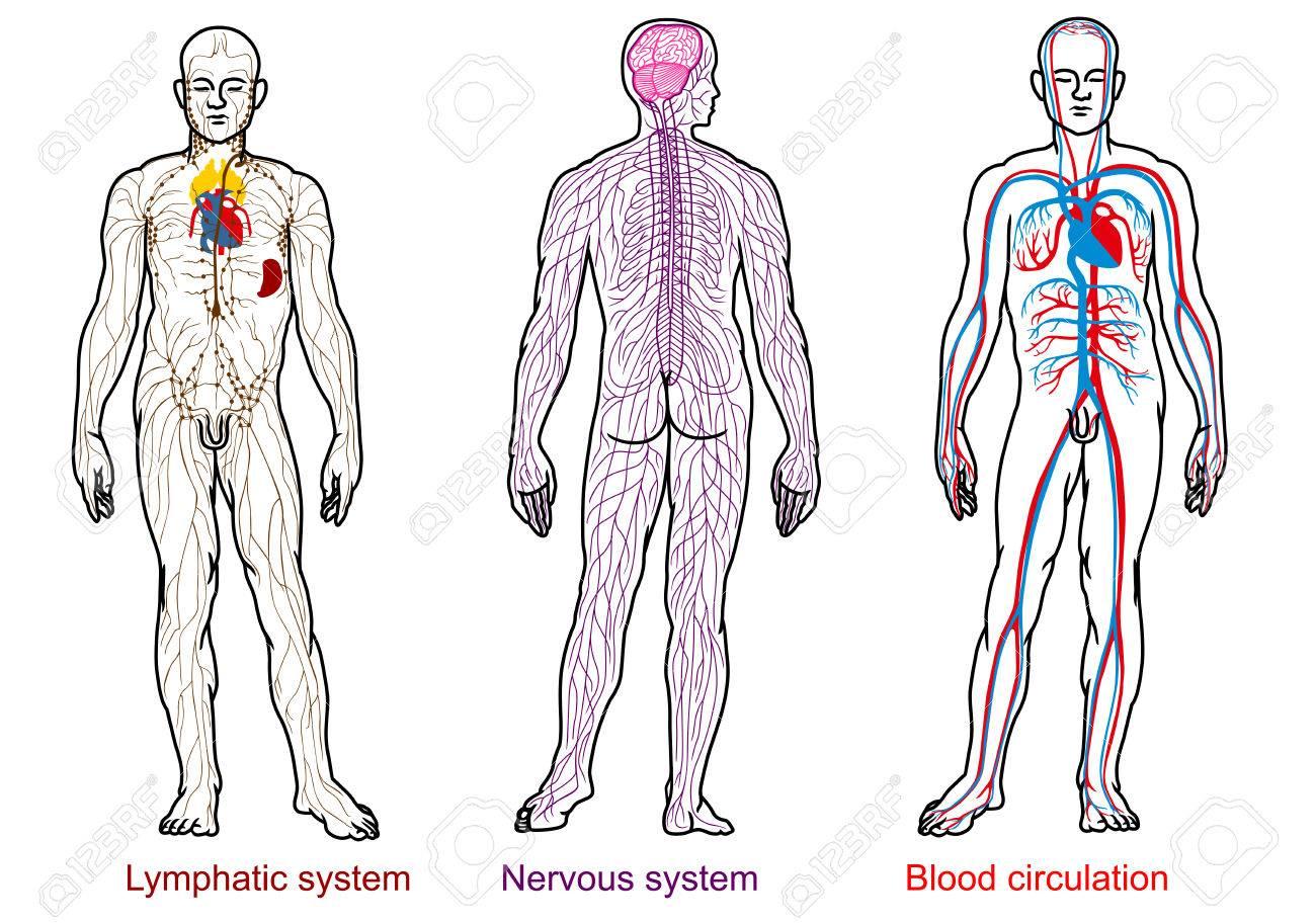 Anatomie Des Menschen Nervös, Blut, Lymphsystem Lizenzfrei Nutzbare ...