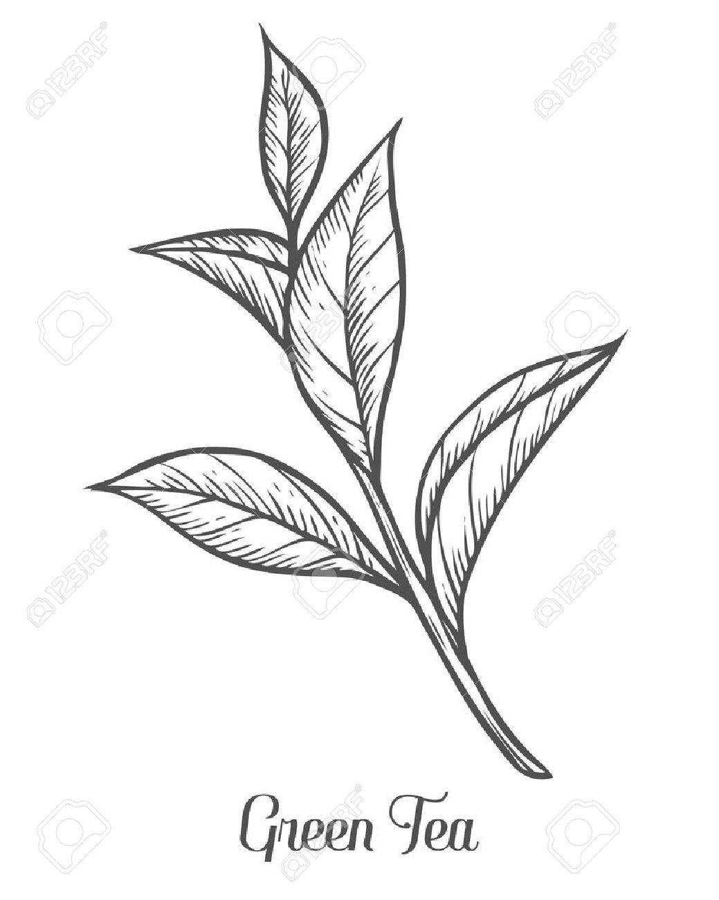 Green tea plant, leaf. Hand drawn sketch vector illustration. Floral branch organic lineart. Chinese Green tea, hot drink. Black leaf on white background. - 68335593