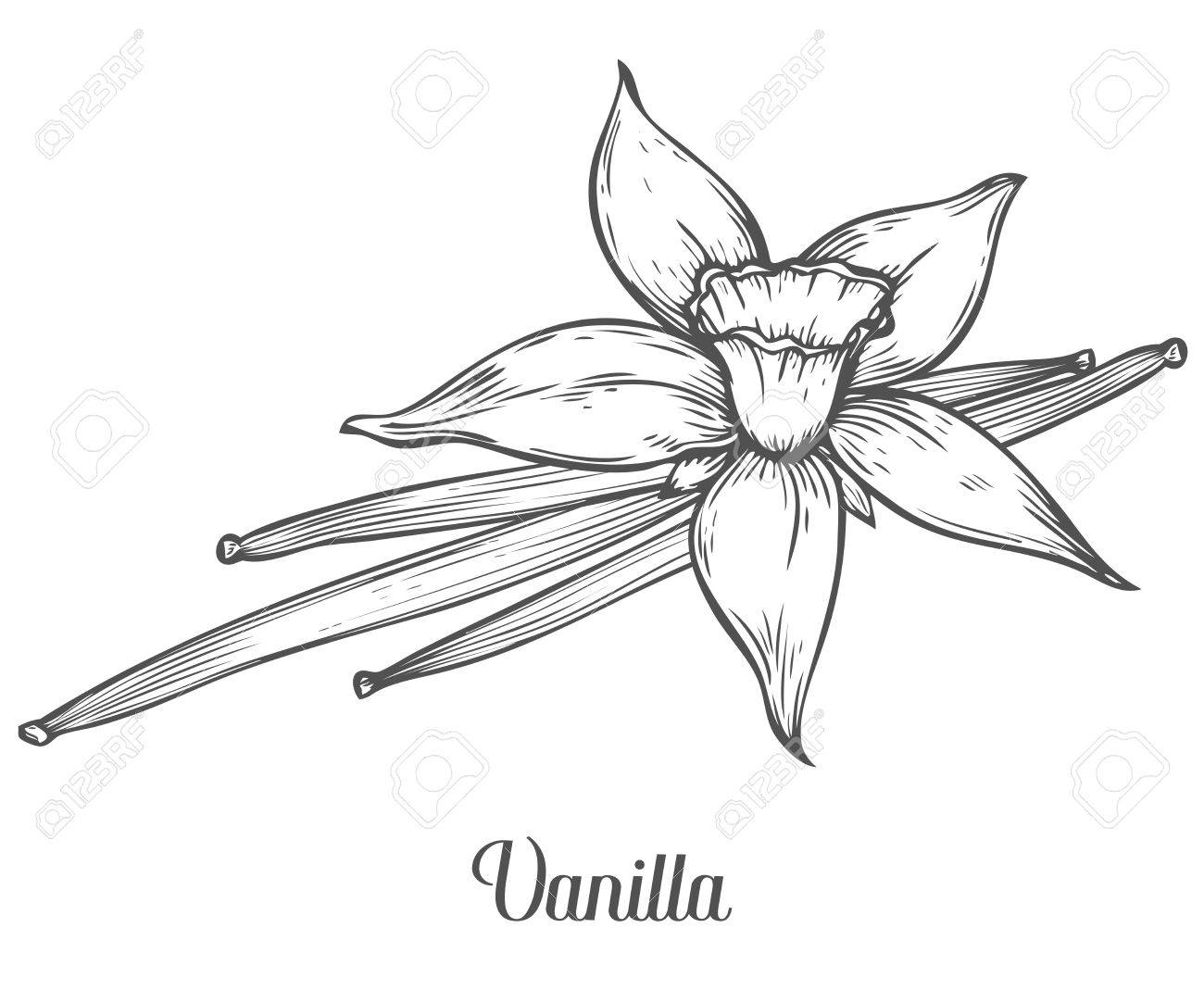 Vanilla flower seed plant branch leaf. Hand drawn sketch vector illustration isolated on white. Spicy herbs. Vanilla Doodle design cooking ingredient for food, dessert. Seasoning spice herb. - 68349687