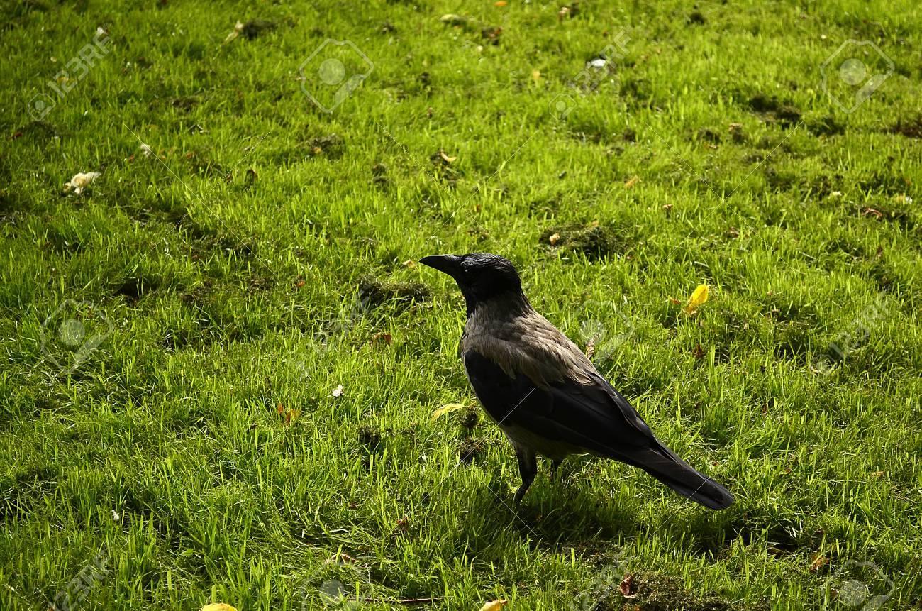 Raven gray Stock Photo - 16099582