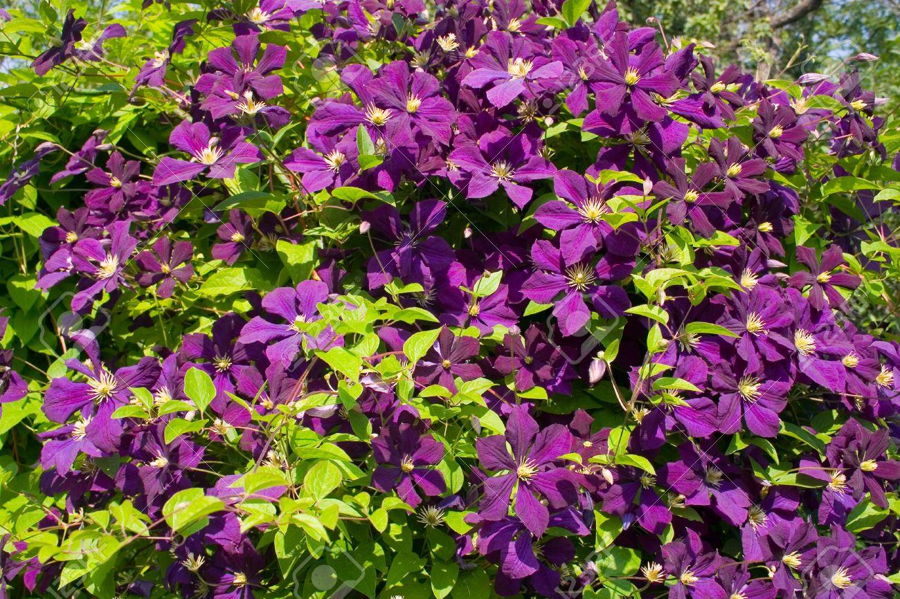 Enredadera De Flores Púrpura Clematis Fotos Retratos Imágenes Y