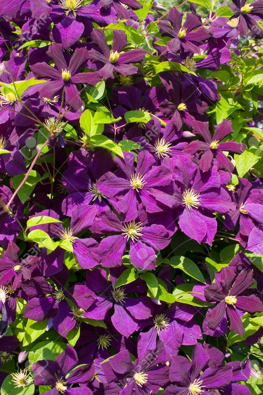 Climbing Vine Of Purple Clematis Flowers Stock Photo Picture And