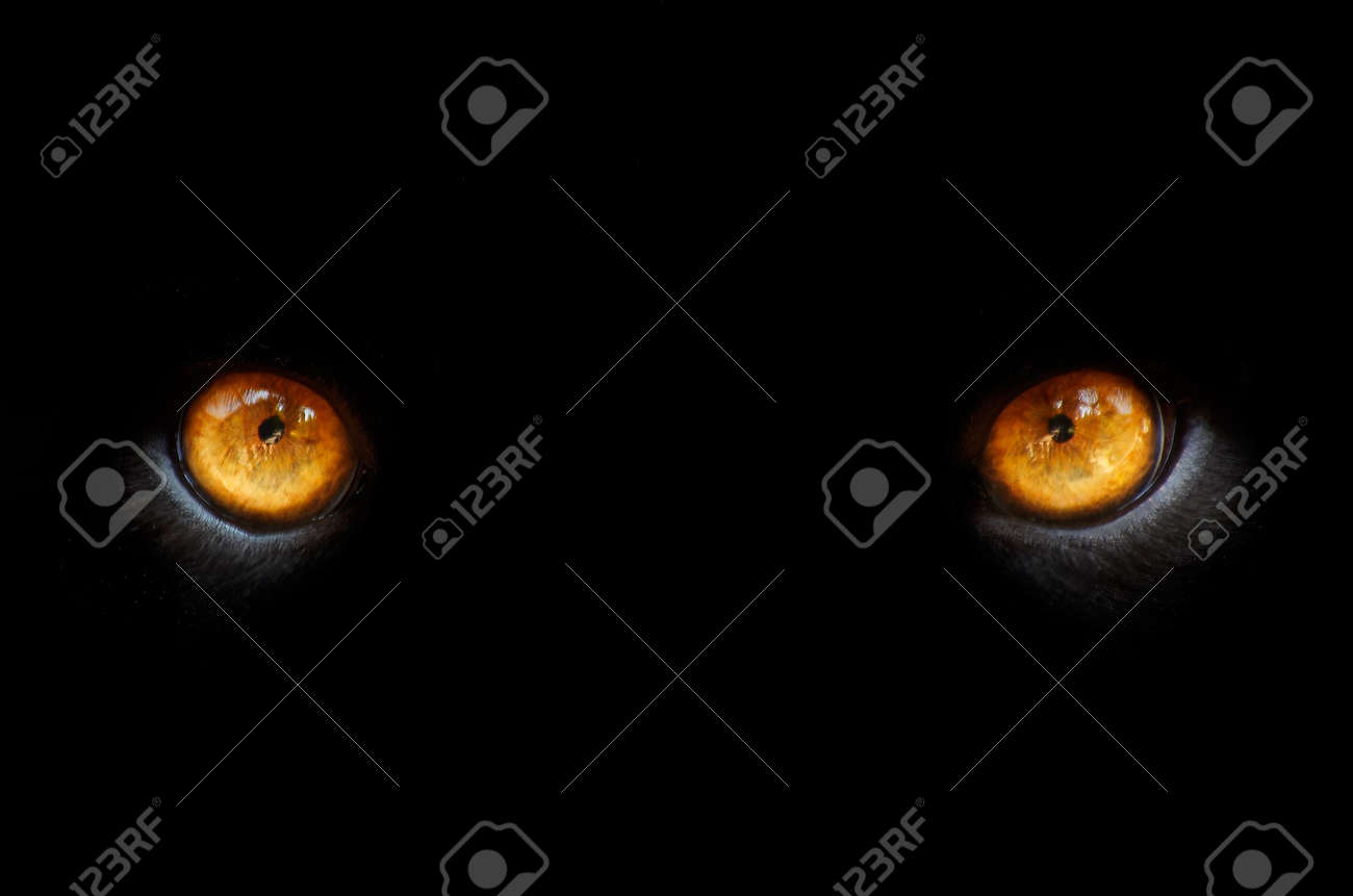 eyes of a panther in the dark Stock Photo - 462768