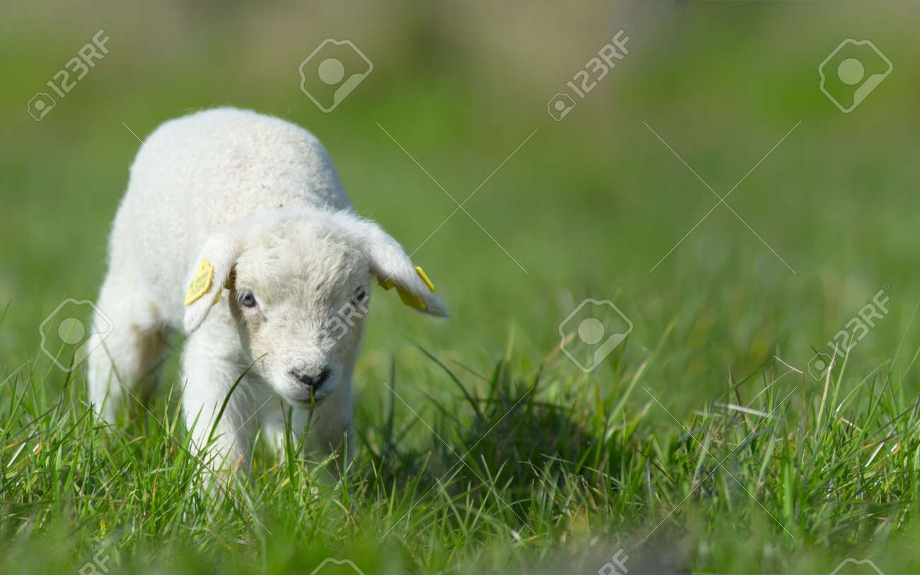cute lamb on grass in spring Stock Photo - 847466