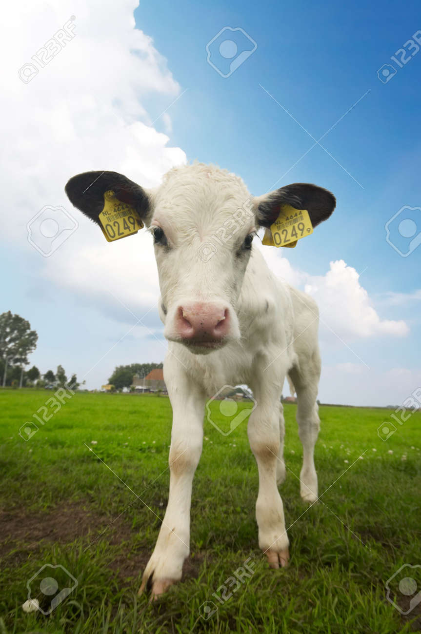 funny picture of a  cow taken with a wide angle lens Standard-Bild - 969459