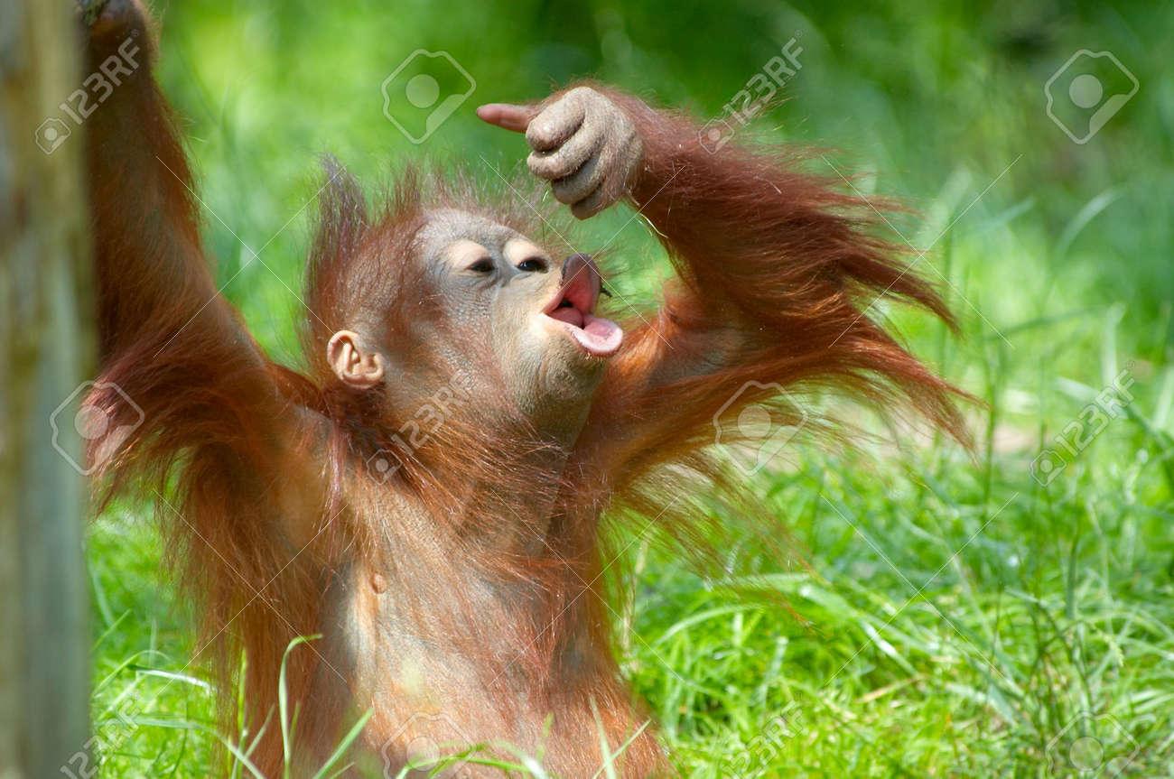 cute  orangutan playing on the grass Standard-Bild - 980969
