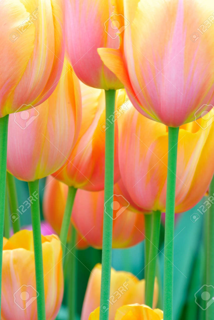 beautiful garden of colorful flowers in spring (keukenhof, The Netherlands) Stock Photo - 3001263