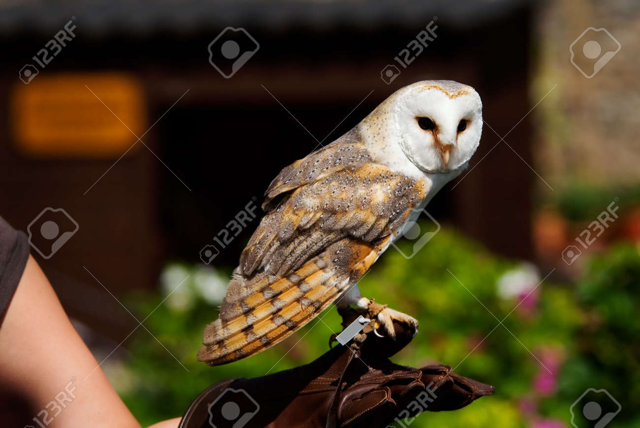 Close up of a beautiful barn owl tyto alba on the glove of close up of a beautiful barn owl tyto alba on the glove of buycottarizona