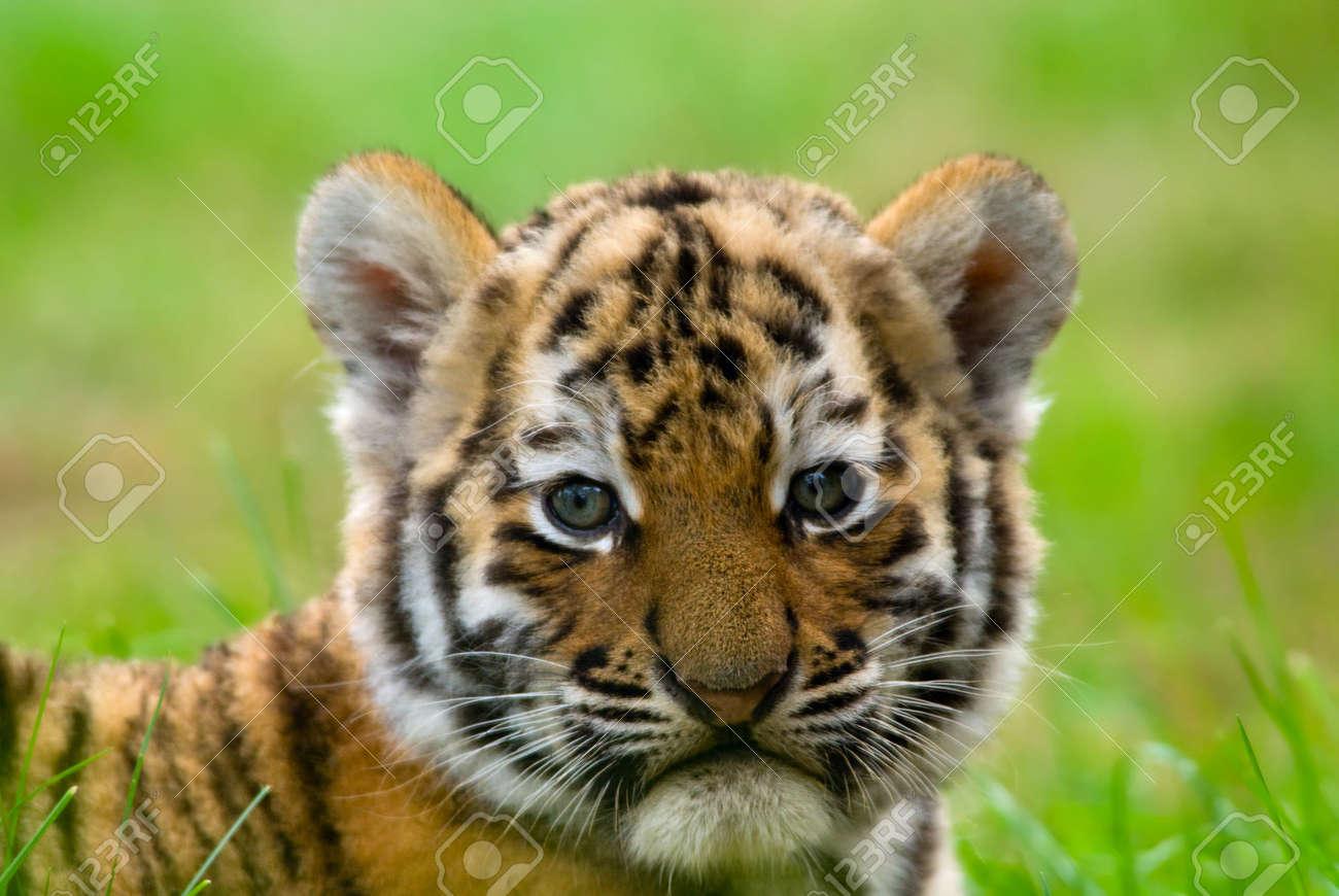cute siberian tiger cub (Tiger Panthera tigris altaica) Stock Photo - 3422574
