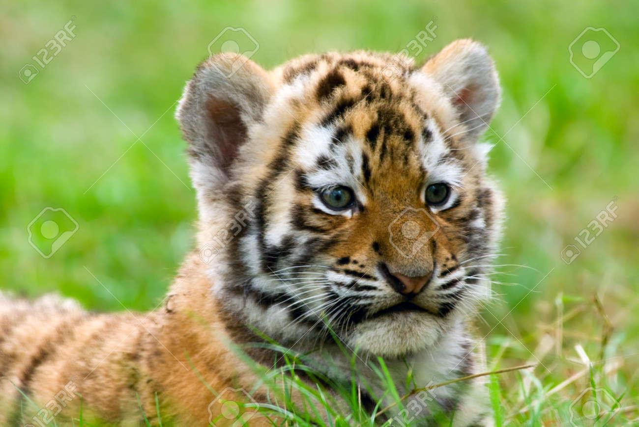 Cute Siberian Tiger Cub (Tiger Panthera Tigris Altaica) Stock ...