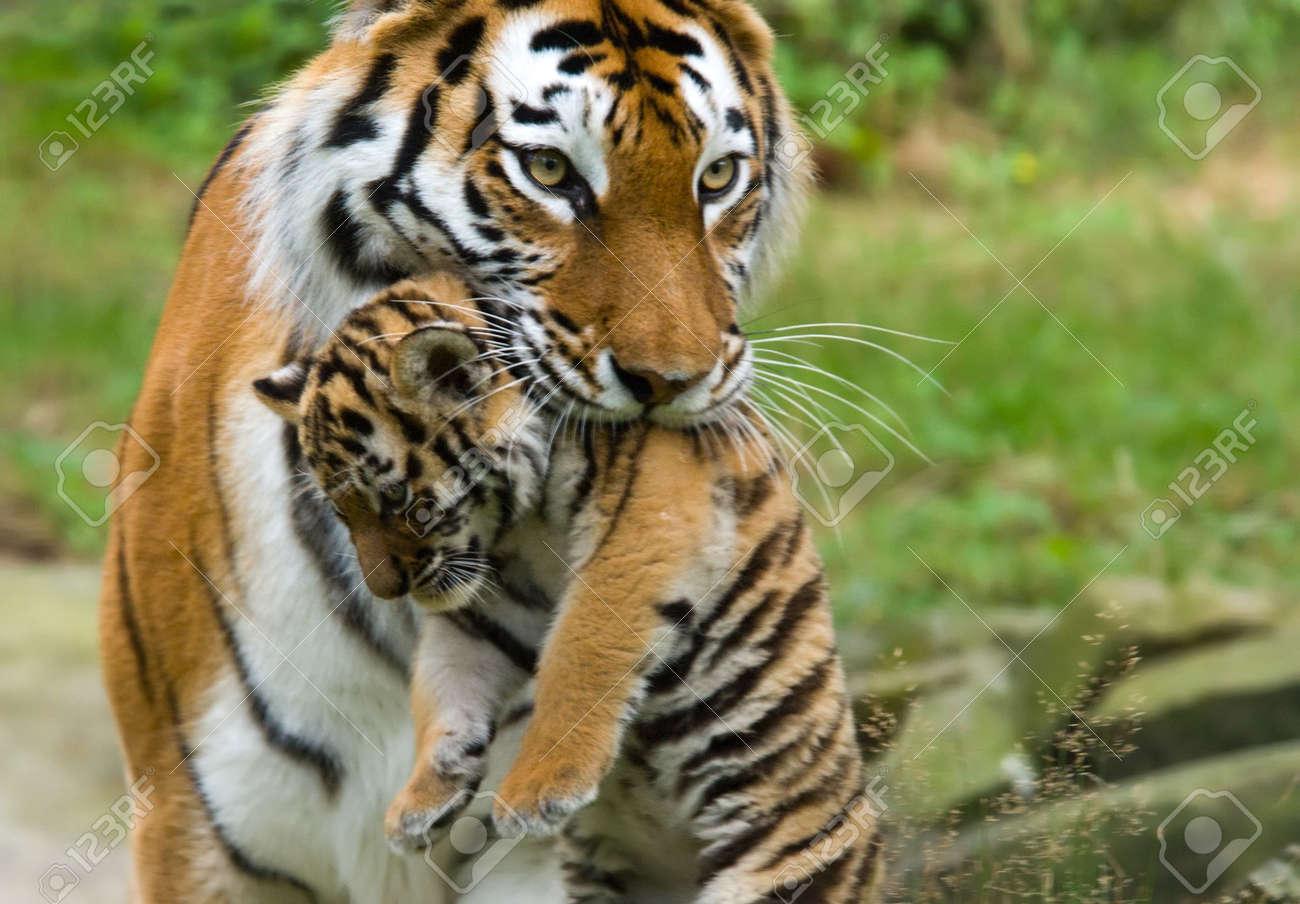 Siberian Tiger (Tiger Panthera Tigris Altaica) With A Between ...