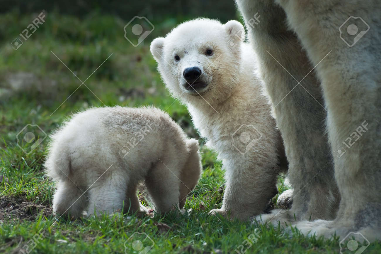 close-up of a polar bear and her cute cubs Standard-Bild - 4548956