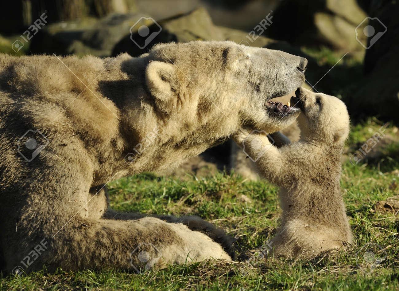 close-up of a polar bear and her cute cub Standard-Bild - 4548955
