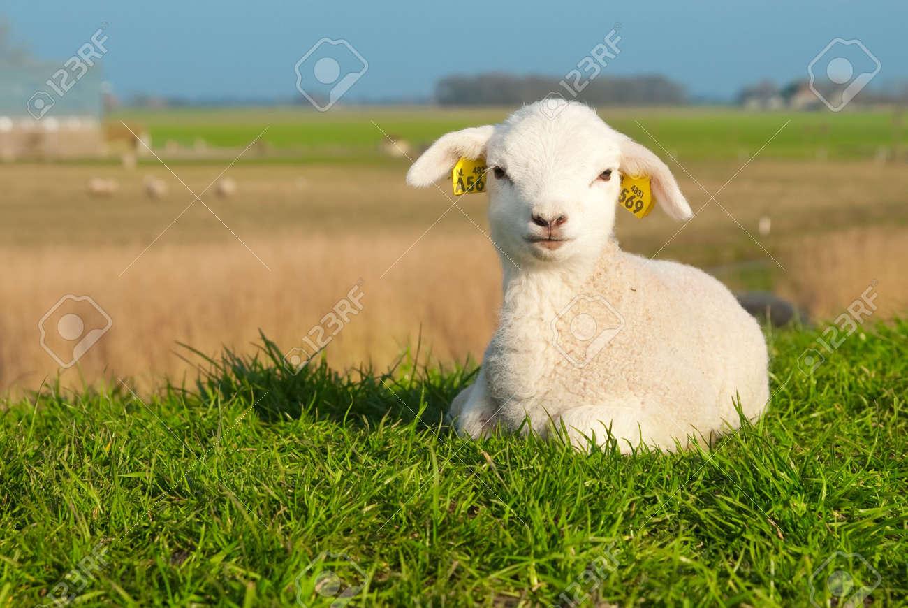 cute lamb in spring, The Netherlands Standard-Bild - 4634136