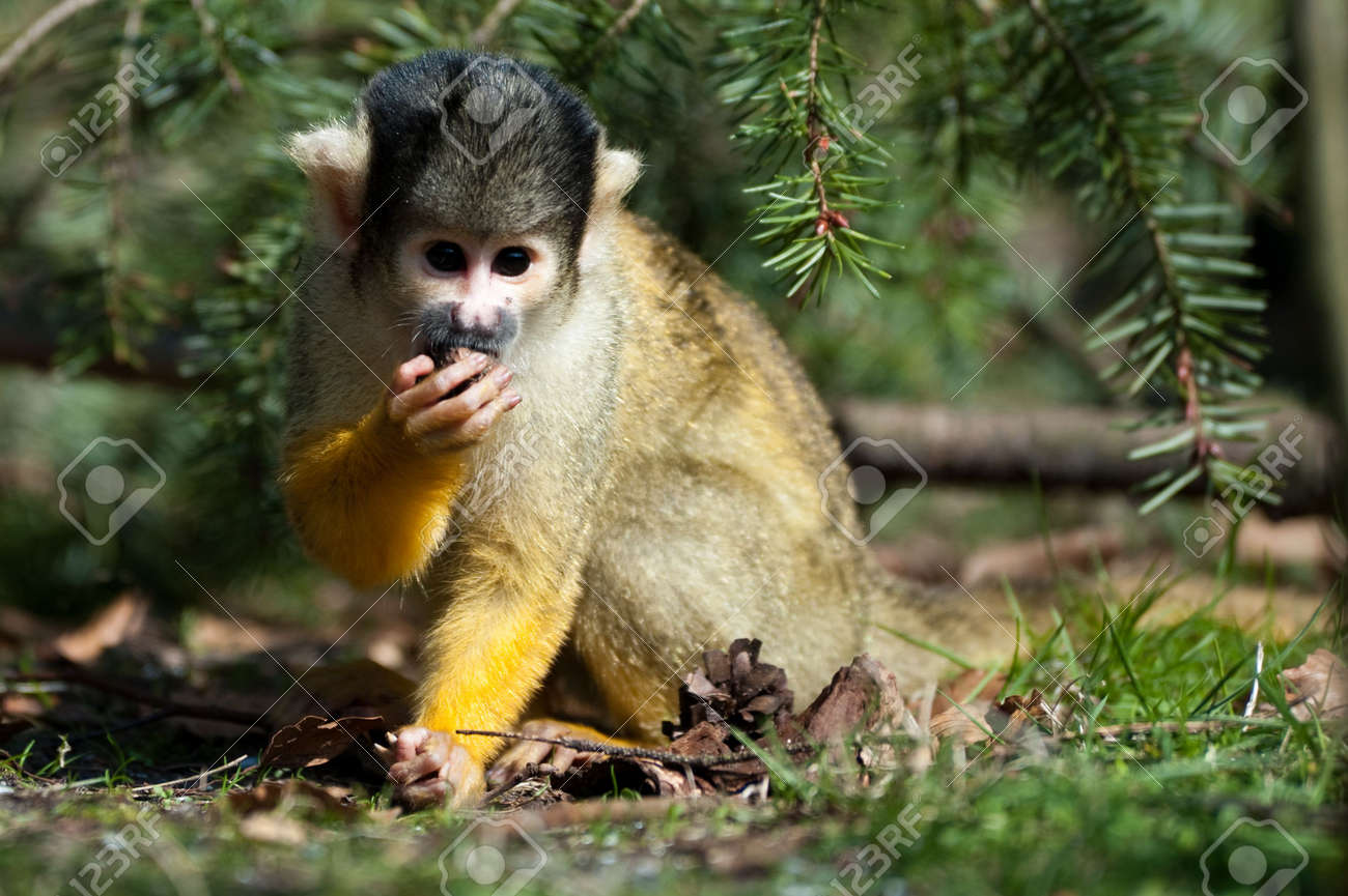 cute squirrel monkey (Saimiri) subfamily: saimiriinae Standard-Bild - 4634149