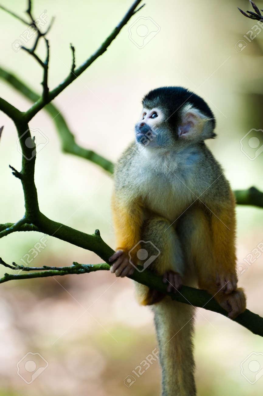 cute squirrel monkey (Saimiri) Unterfamilie: saimiriinae Standard-Bild - 4634131