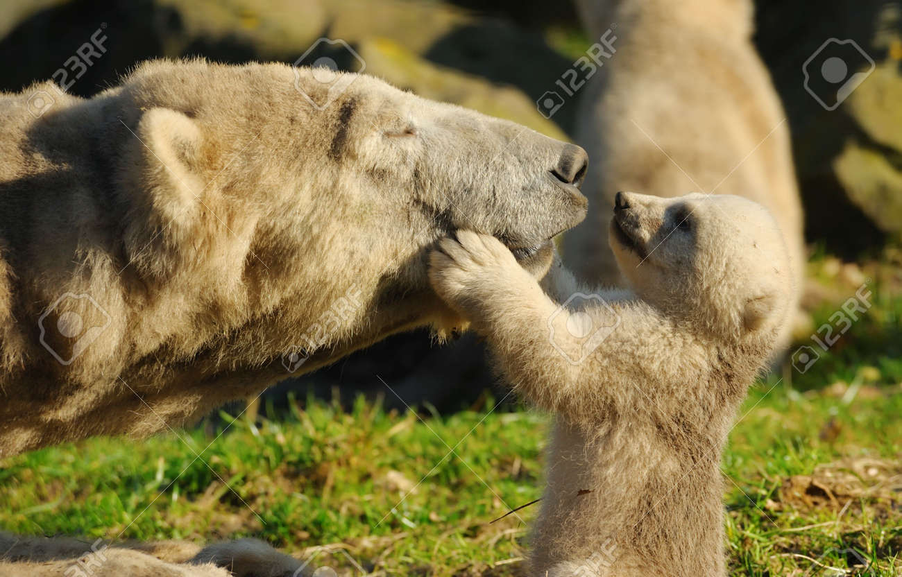 close-up of a polar bear and her cute cub Standard-Bild - 4634144