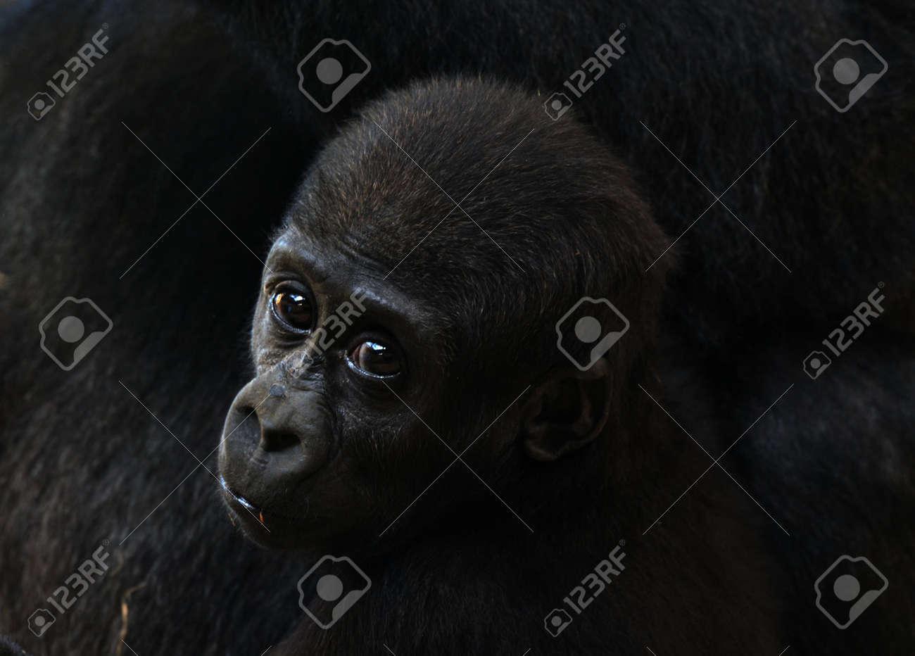 close-up of a a cute baby gorilla Standard-Bild - 4650583