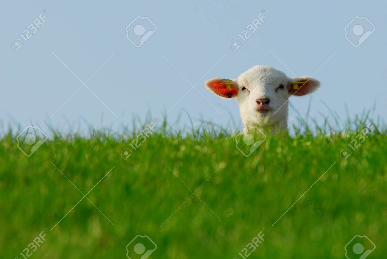 funny image of a cute lamb in spring Standard-Bild - 4685091