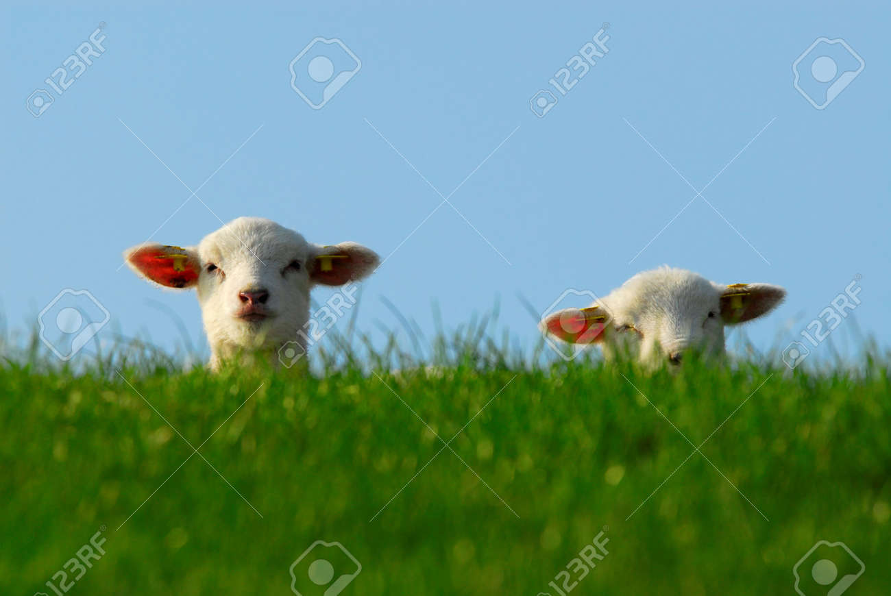 funny image of a cute lambs in spring Standard-Bild - 4685094