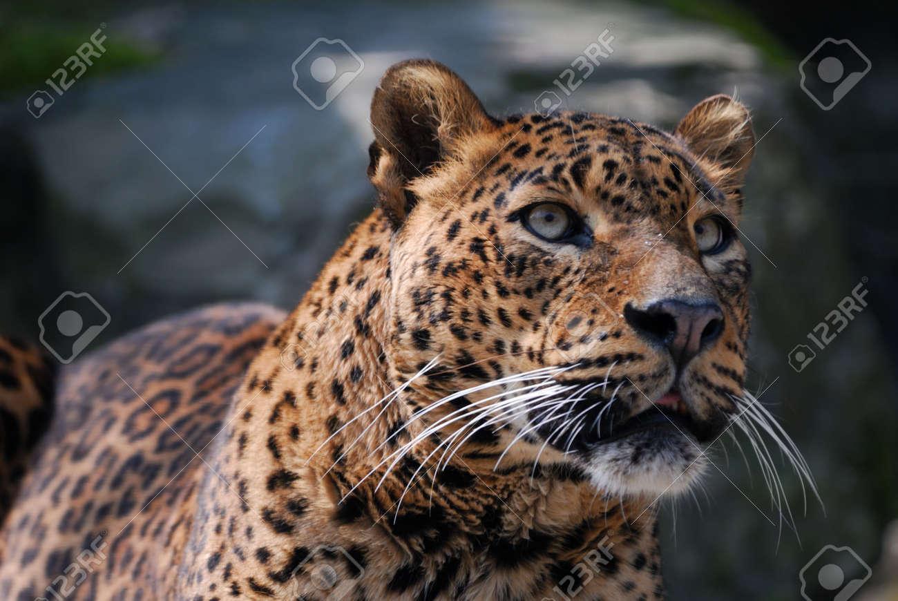 close-up of a beautiful leopard Standard-Bild - 4694406