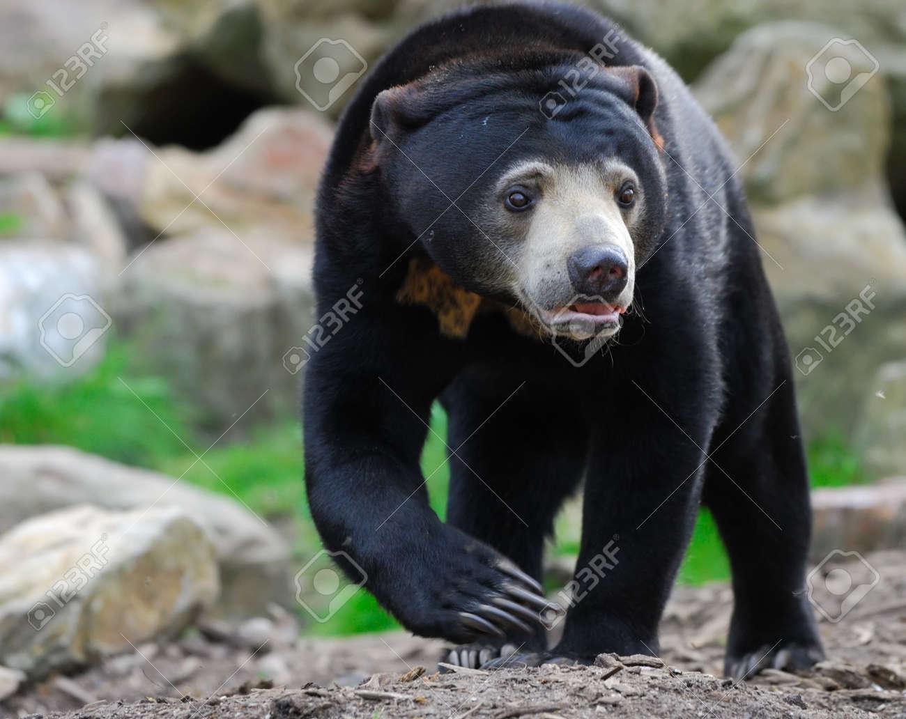 Close up of a Malayan Sun Bear (Helarctos malayanus) Standard-Bild - 4903625