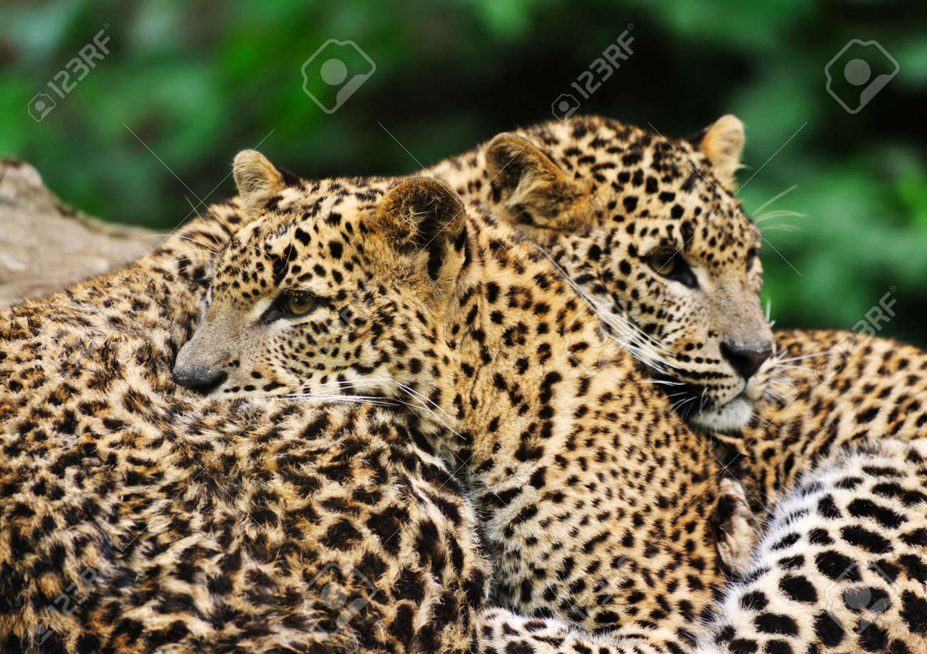 Sri Lanka Leopard (Panthera pardus kotiya) Standard-Bild - 4903643