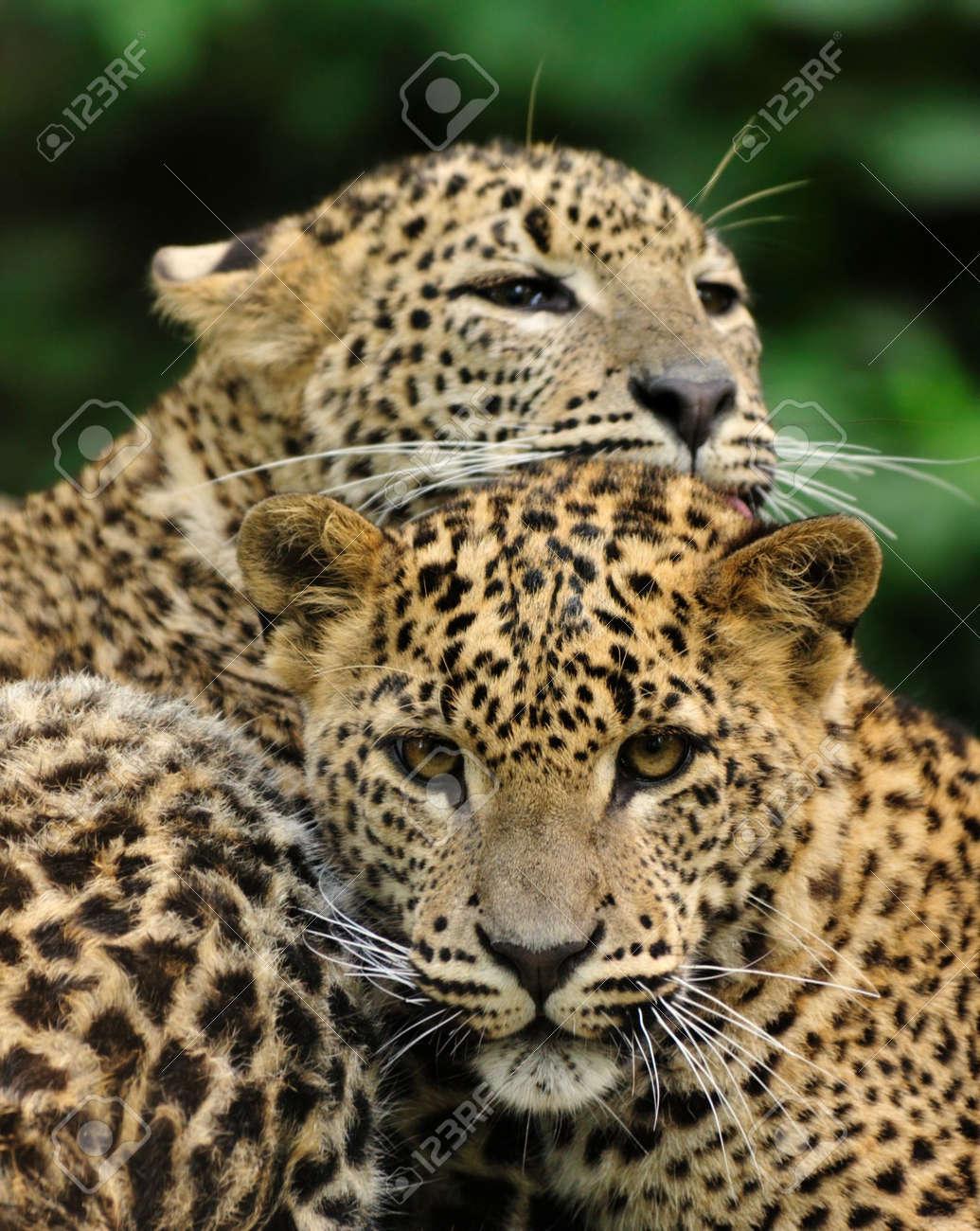 Sri Lanka Leopard (Panthera pardus kotiya) Standard-Bild - 4903638