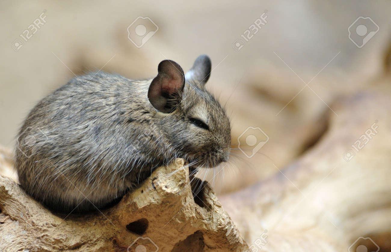 Cute chinchilla (Chinchilla lanigera) Standard-Bild - 4917981