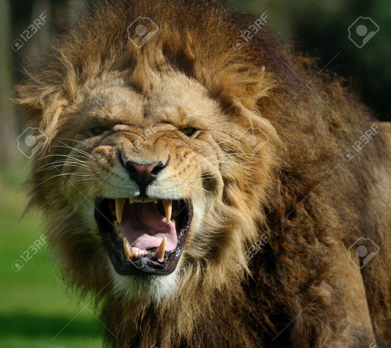 Close-up of a big angry African male lion Standard-Bild - 4997209