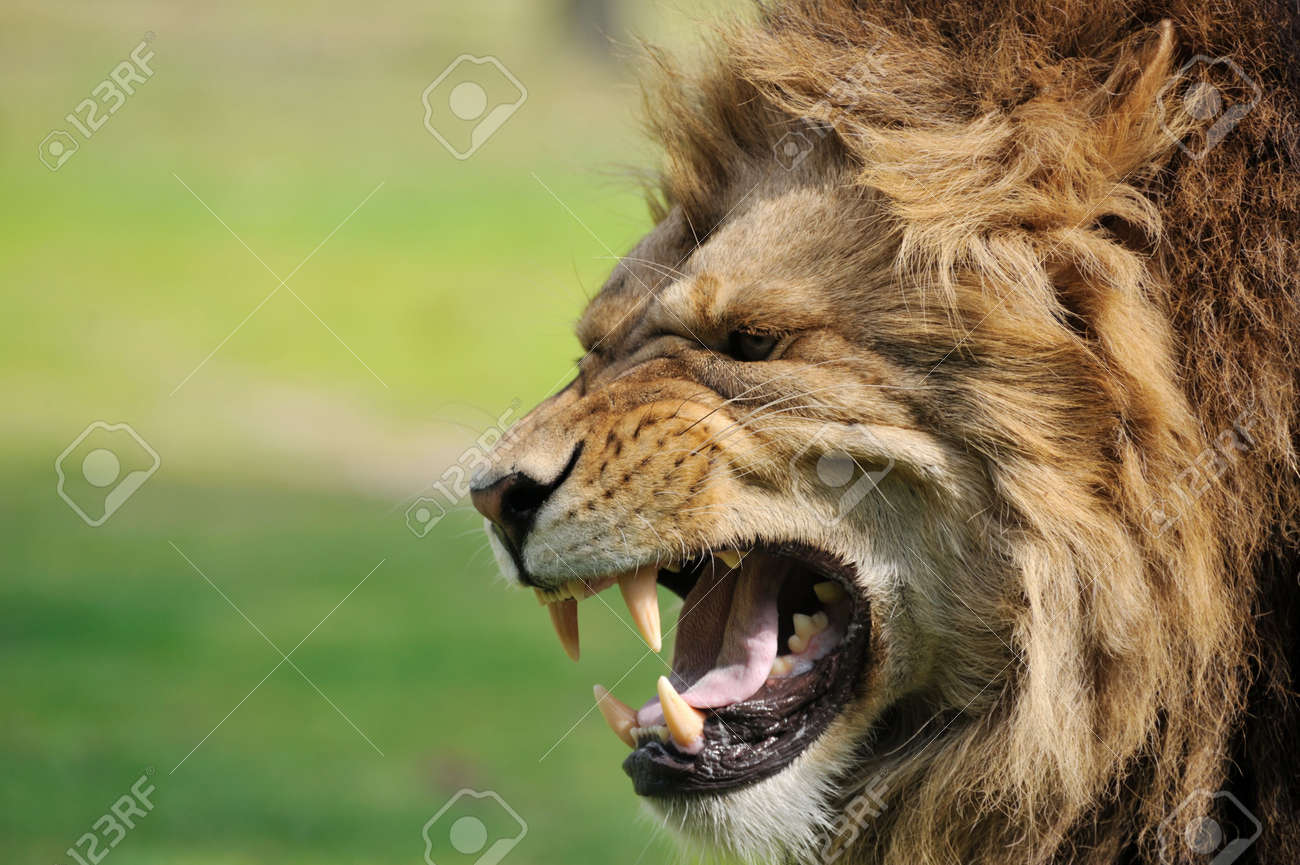 Close-up of a big angry African male lion Standard-Bild - 5177010
