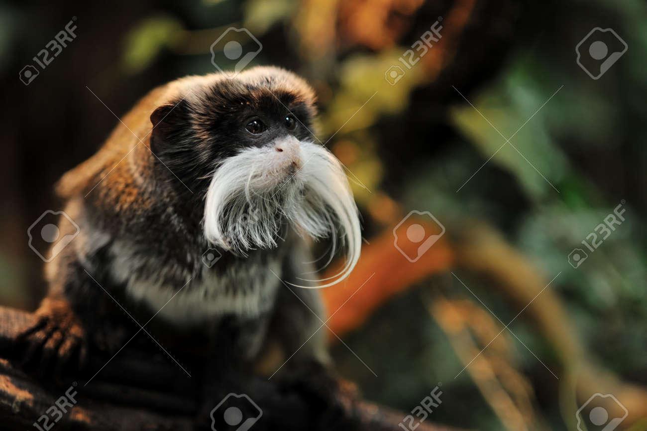 cute emperor tamarin (Saguinus imperator) Standard-Bild - 5752485