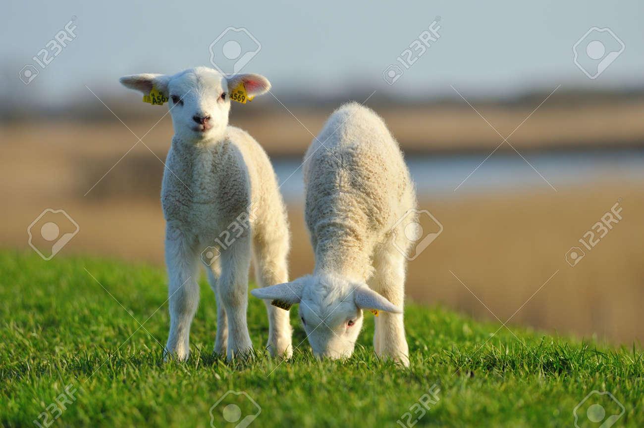 cute lambs in spring, The Netherlands Standard-Bild - 5936173