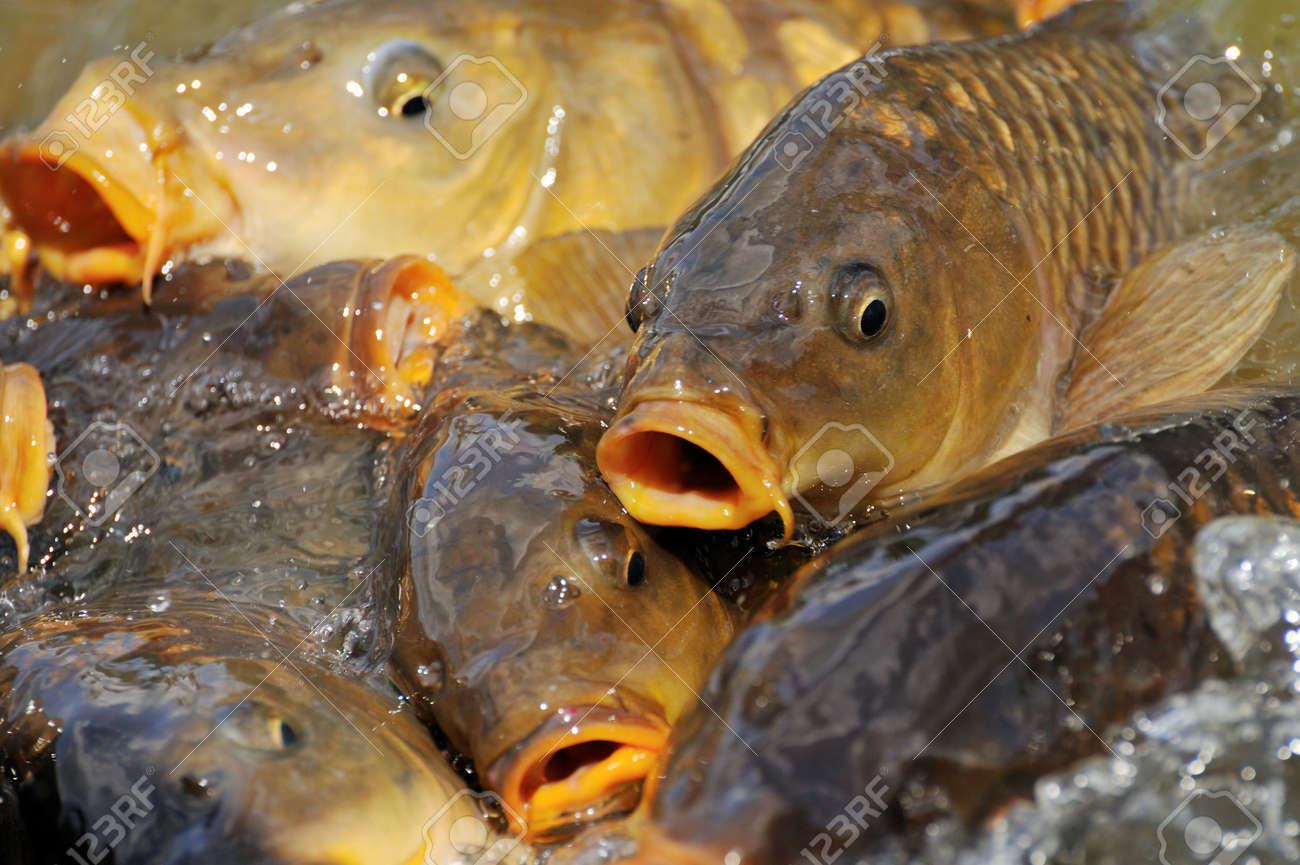 lots of carp fish in the water Standard-Bild - 6354986